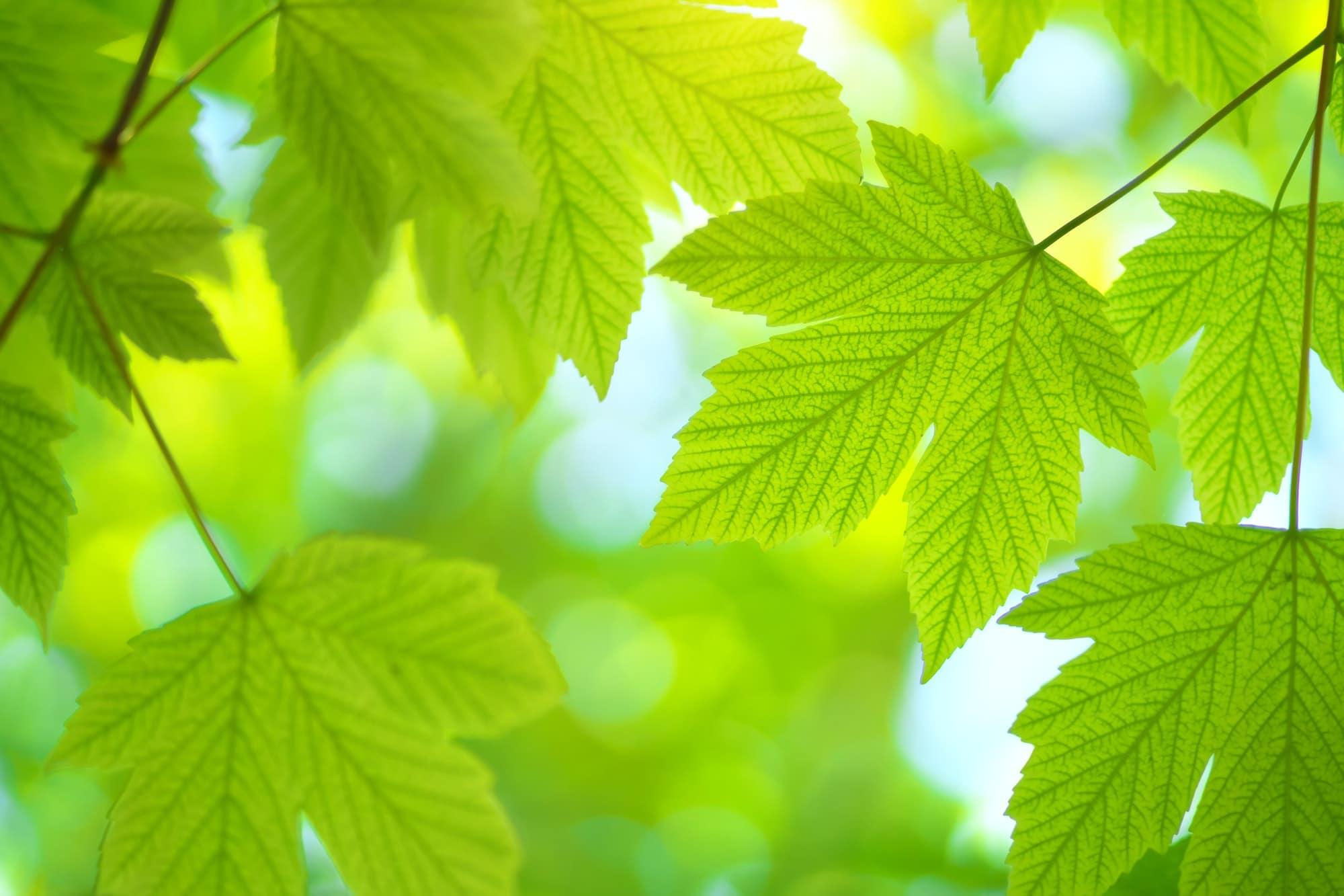Green spring leaf of maple
